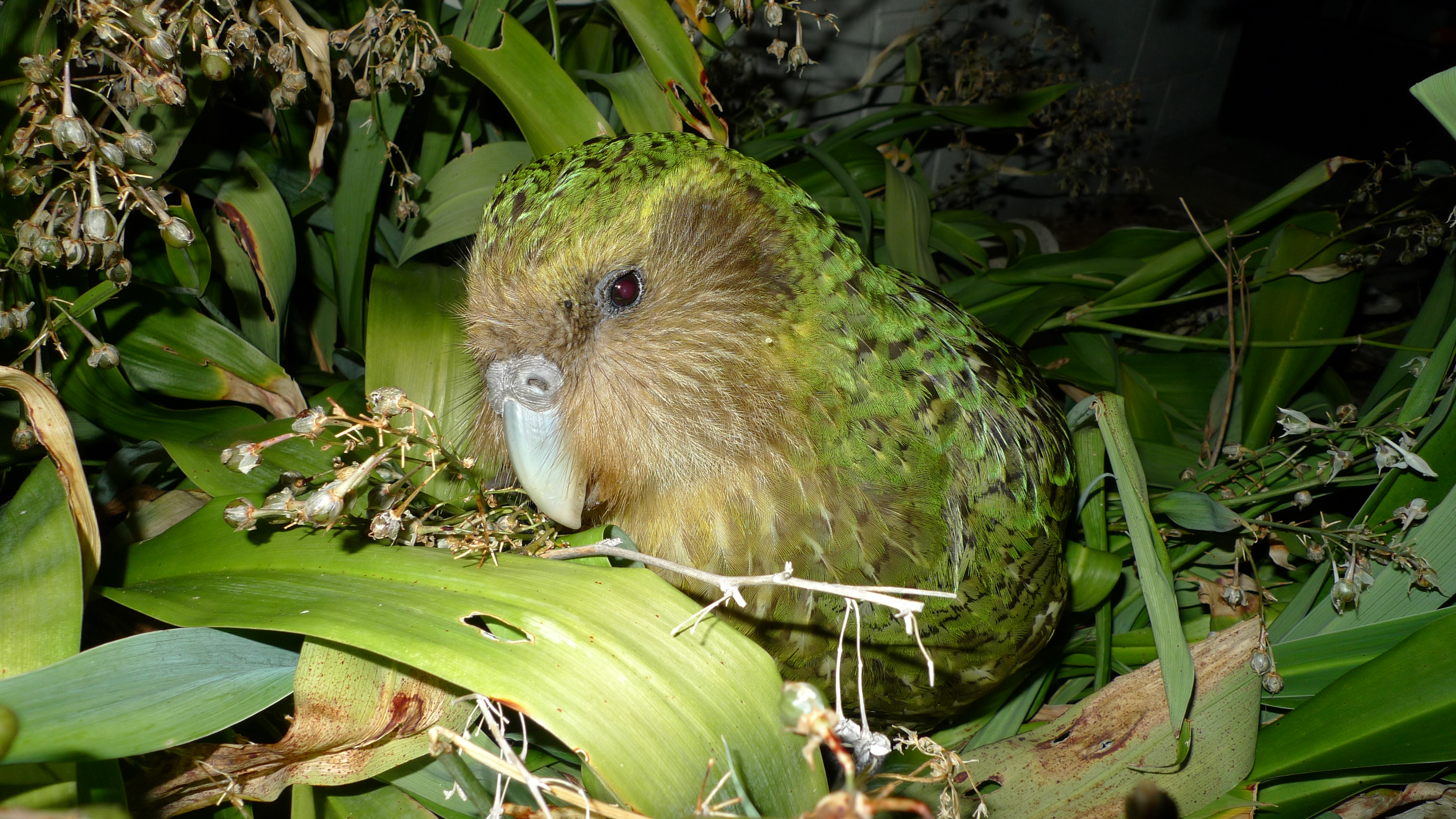 The Kakapo - The Department of Conservation