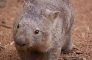 Z-fearlesscraig-wombat