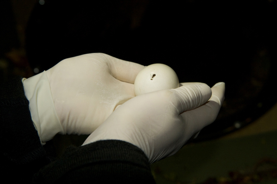 Kakapo hatching out of egg