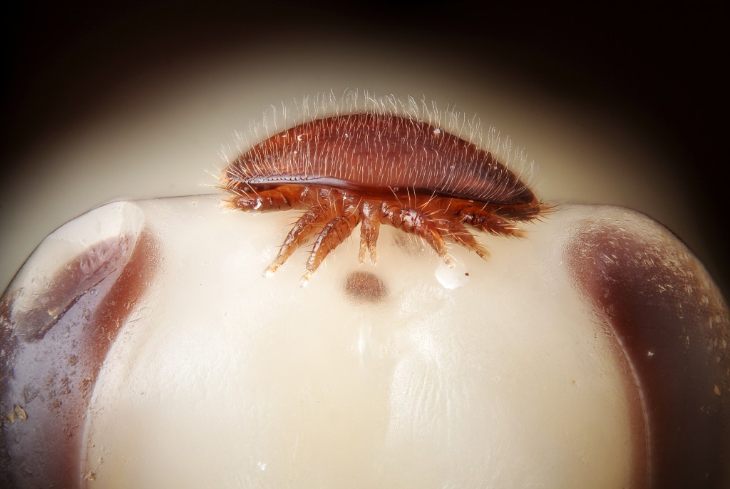 A female Varroa destructor on the head of a bee nymph: http://upload.wikimedia.org/wikipedia/commons/5/57/Female_Varroa_destructor_on_the_head_of_a_bee_nymph_(5048727154).jpg