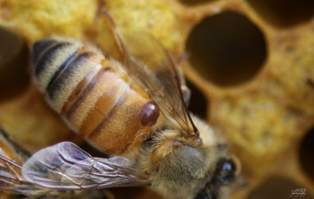 A European honey bee with a Varroa Destructor mite: https://beesandchicks.files.wordpress.com/2010/04/mite2.jpg