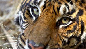 Source: http://animals.sandiegozoo.org/animals/tiger